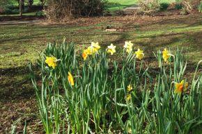 Guy L Wilson Daffodil Garden